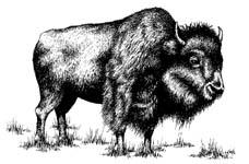 Buffalo_1