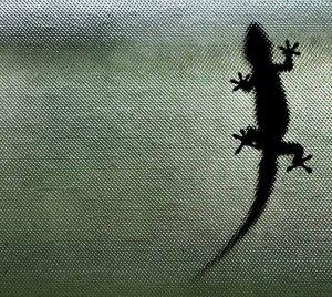 Gecko_on_My_Window_2_(17729540)