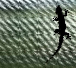 Gecko_on_My_Window_2_(17729540)